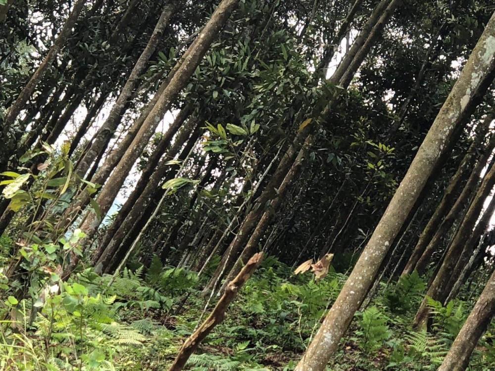 Startup Quế Việt – Giấc mơ đưa cây quế Yên Bái trở thành thương hiệu quốc gia, vươn tầm thế giới