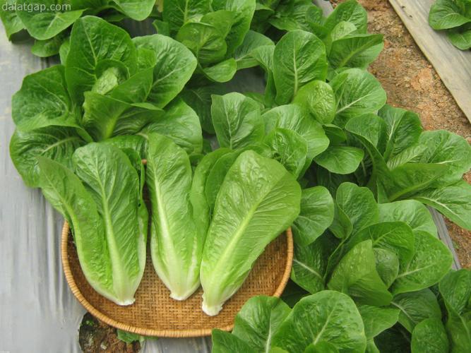 Cách nhận biết rau phun hóa chất